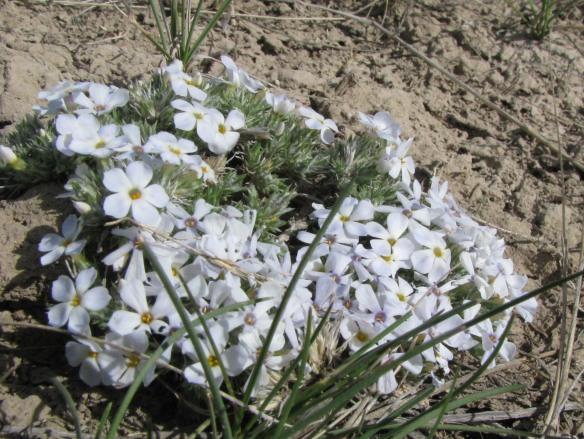 Hood's Phlox (Phlox hoodii) is low growing and very fragrant!