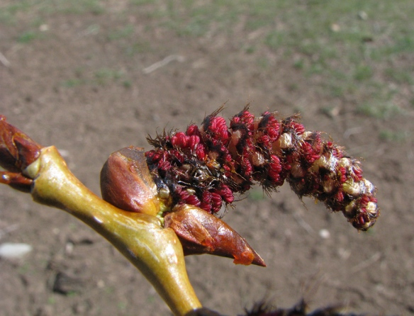 Cottonwood male catkin is exploding out of it confining bud scales.