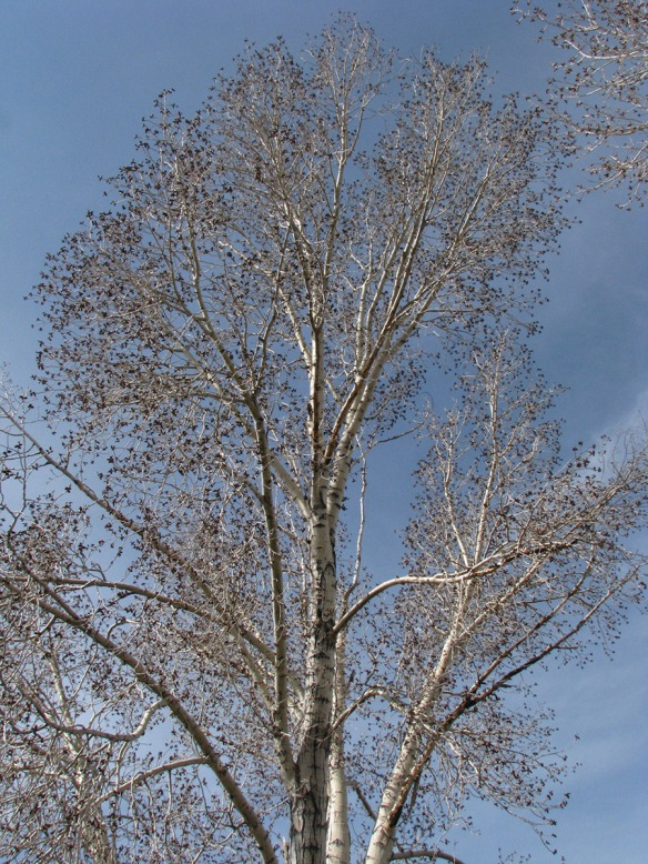 Cottonwoods (Populus spp.) are expanding their buds.