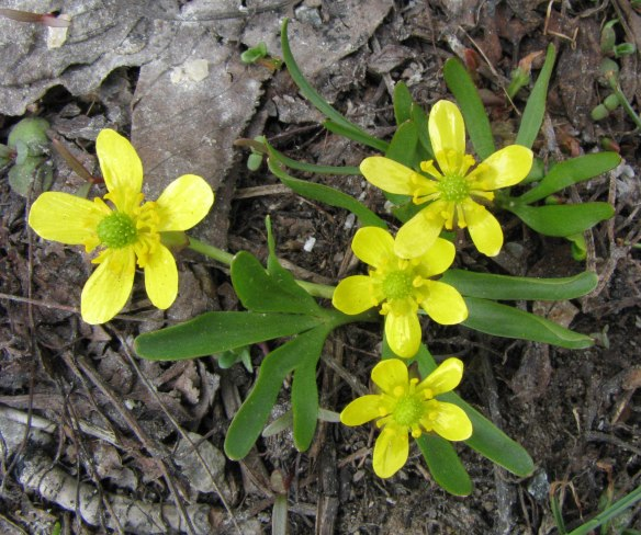 Utah Buttercup (Ranunculus jovis) - has lobed basal leaves and fattened roots.