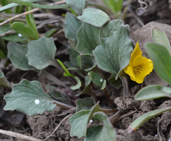 Another yellow violet, Viola purpurea - has leaves shaped like webbed duck feet. Here it is with spots of hail.