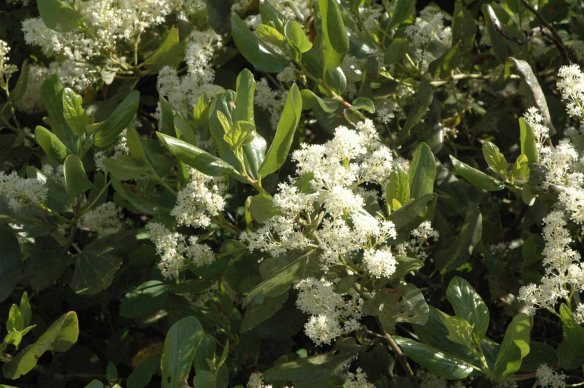 Smokebrush has elegant clusters of white flowers and leaves with three strong veins and a glossy texture on the surface. Buds can be sticky with resin.