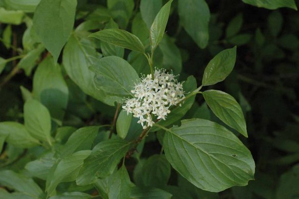 Red-stemmed Dogwood - Cornus sericea - is a favorite food of browsing moose, as my ornamental plantings attest.  This wetland shrub is easy to identify with its opposite oval leaves with parallel veins and clusters of 4-petaled white flowers.