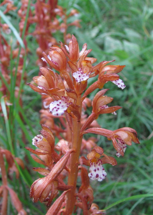 Spotted Coralroot - Corallorhiza maculata - is variable in its decoration. However 2 lobes on either side of the base of the lowest petal (lip) and a bump (spur) under the throat of flower help in ID.