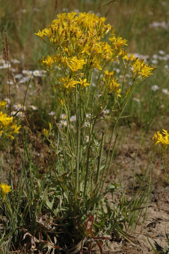 Hawksbeard - Crepis aggregata - is common along the Gros Ventre Road. Note the sword-shaped leaves at the base of the plant.