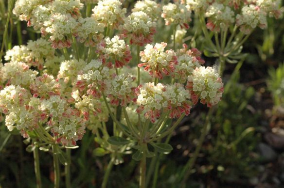 Sulphur Buckwheat - Eriogonum umbellatum - has mats of small oval leaves, and umbels of creamy yellow flowers which are often tinged with pink.  They are blooming throughout the valley.