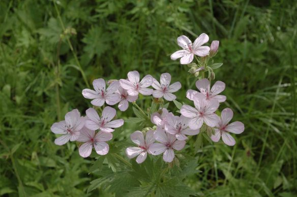 Sticky Geranium is common throughout the valley.  Its wide open flowers with obvious nectar guides form landing pads available to many types of pollinators.