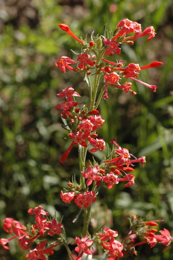 Scarlet Gilia - Ipomopsis aggregata - attracts hummingbird, it main pollinator.  Birds see red (insects don't) and the stiffly arrayed tubular flowers enable hummingbirds to hover while lapping up nectar deep within.