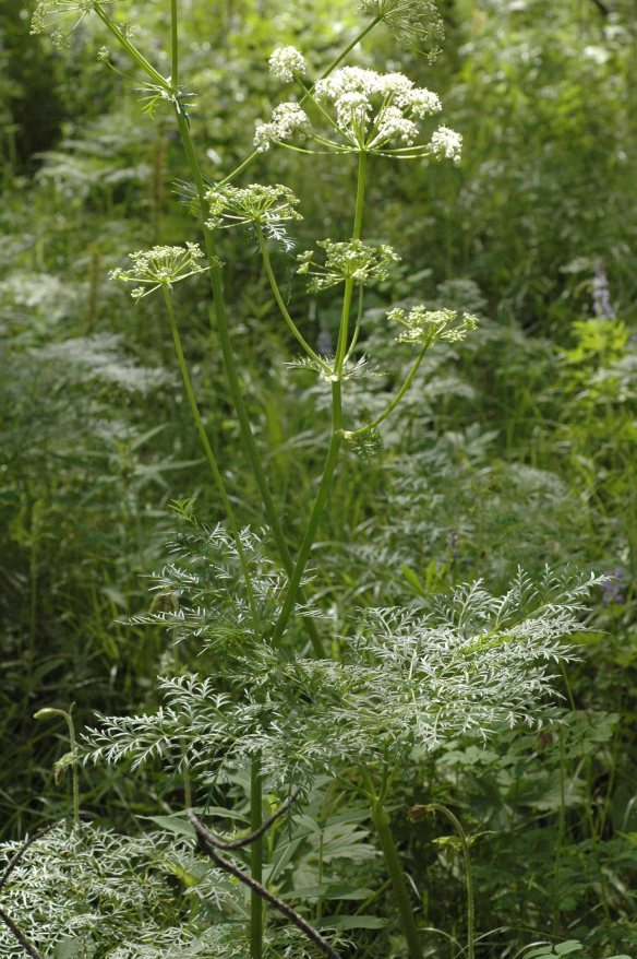 Fernleaf  Lovage - Ligusticum filicinum - is a tall - 2-4 foot plant with ferny, greatly dissected leaves.  The white flowers held on wide umbels are equally as delicate.