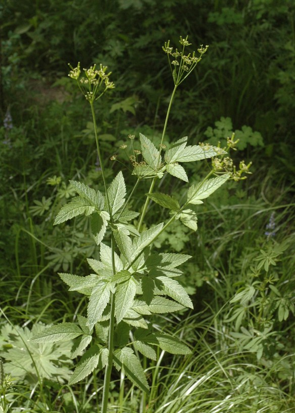 Related to the lovage is Western Sweetroot, Wild Licorice - Osmorhiza occidentalis - also has delicate flowers in umbels, but the compound leaves are much less divided.