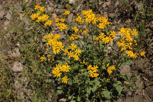 Look for the brightly colored Rocky Mountain Groundsel - Packera (formerly Senecio) streptanthifolia - pops up in odd corners of the sageflats: Here it is in Lupine Meadows. The leaves vary greatly in their shape and incisions.