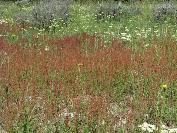 Sheep Sorel - Rumex acetosella - adds another color to the tapestry.  A plant of more disturbed soils it is a non-native species.  Plants grow as either males or females.  Take a close look for pollen (male) or stigmas and ovaries (female).