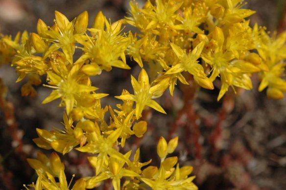 Lance-leaved sedum - Sedum lanceolatum - has succulent 1/2