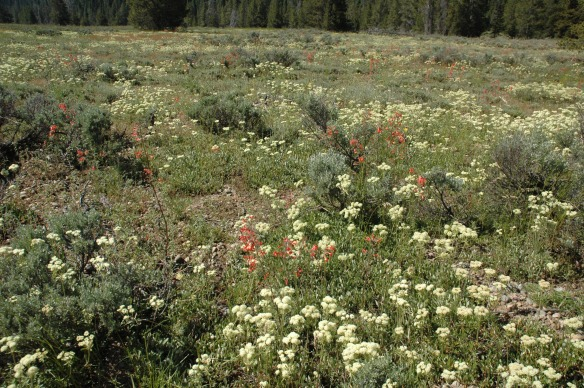 The south end of the inner Park Road includes dashes of Scarlet Gilia as well as swaths of rusty Dock.