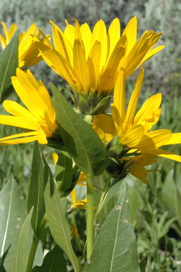 Mulesears have large, dark yellow flowers, 12-18