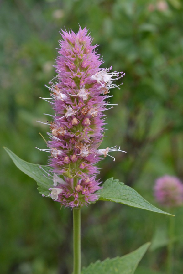 Giant Hyssop - Agastache urtifolia - is a member of the Mint Family.  And is occasionally pollinated by hummingbirds,