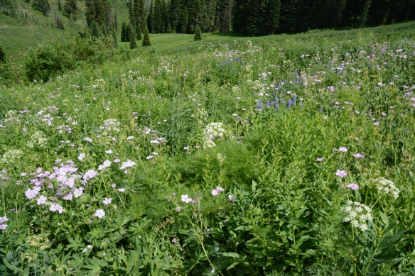 Trail south of Teton Pass is in full bloom in early July.