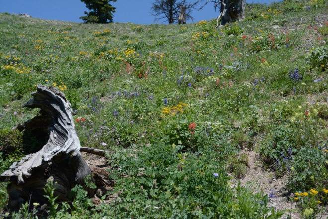 Some parts of the trail collect more snow and consequentlyl have a greater profusion of flowers.