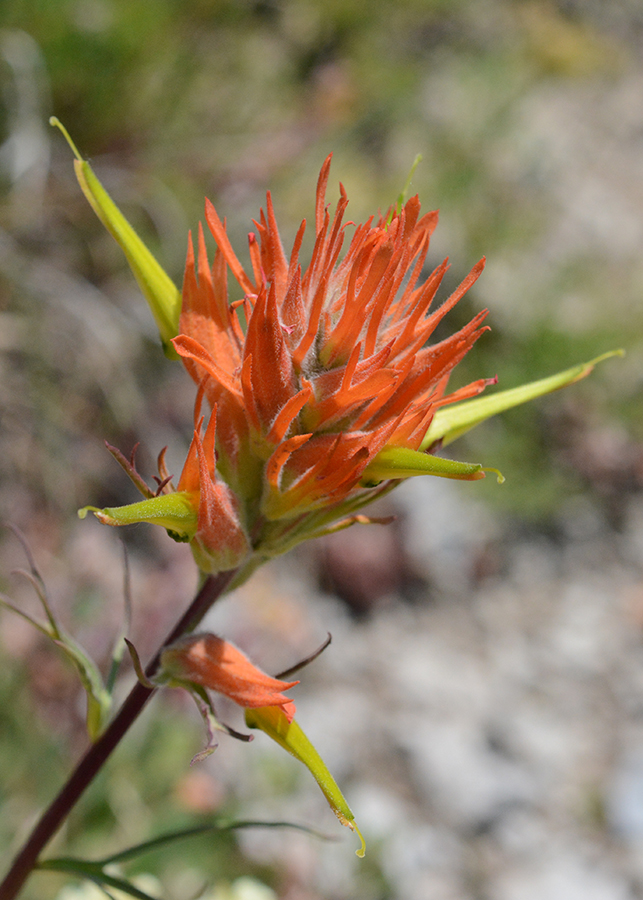 Also tall and red--here orange red, is the state flower Wyoming Paintbrush - Castilleja liniariifolia.  The flowers are oddly structured.  The red color comes from bracts below each flower and red sepals. Sepals are usually green.  And here the petals are actually green.  Note the yellow-green tube of petals protrudes well beyond the rest of the flower parts.  Like scarlet gilia, it is pollinated by hummingbirds.