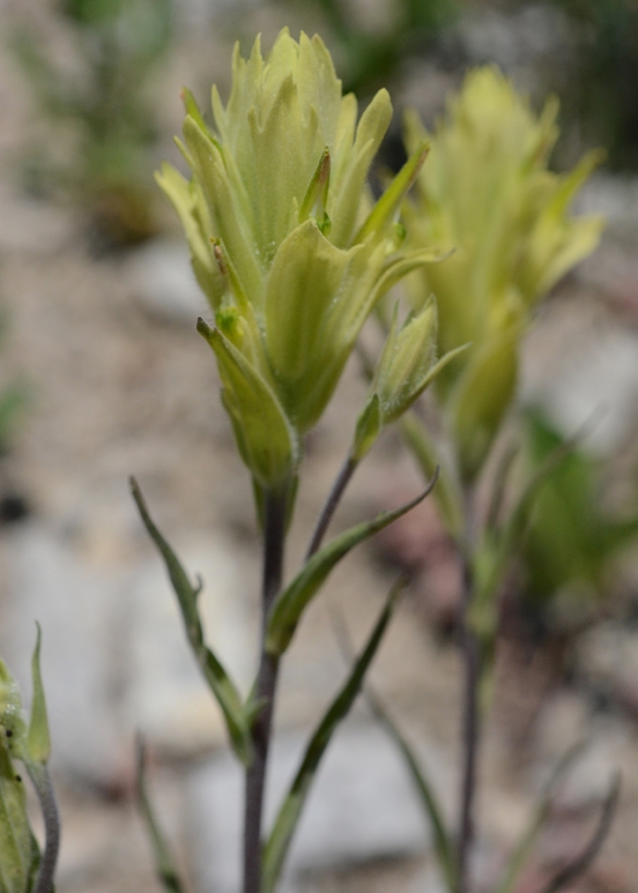 "Sulphur Indian Paintbrush - Castilleja sulphurea – is similar in design to C. miniata (see above); however, the bracts are yellow instead of red.  Stems 8-22"" often branched. Subalpine to Alpine."