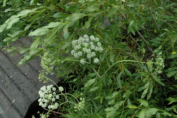 Water Hemlock - Cicuta maculata - grows in similar places and can be mistaken for Angelica.  The Iroquois called this plant