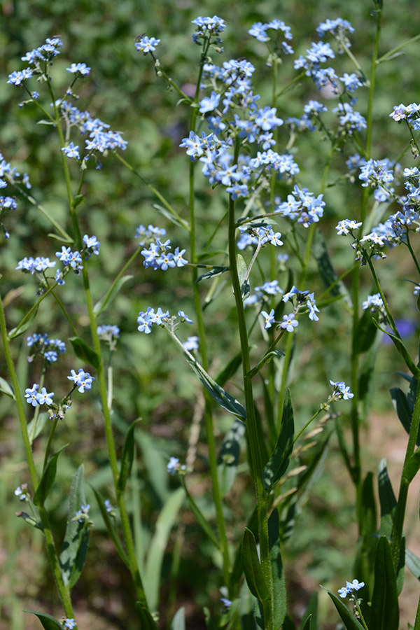 A common plant that looks like for-get-me not is Stickseed - Hackelia micrantha.  There are 2-3 species, but this one is a native blue perennial growing 2-3' tall.