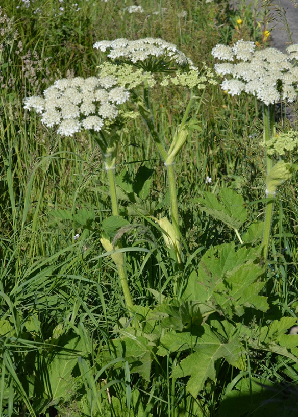 Cow Parsnip - Heracleum spondylium - has large jagged leaves, plate-sized flower clusters, and is hairy.