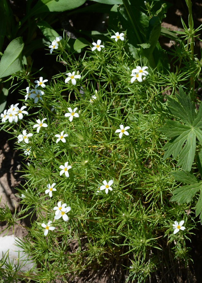 Nuttall's Gilia forms soft mounds on rocky slopes.  The leaves are almost needle-like and form whorls on the stem.