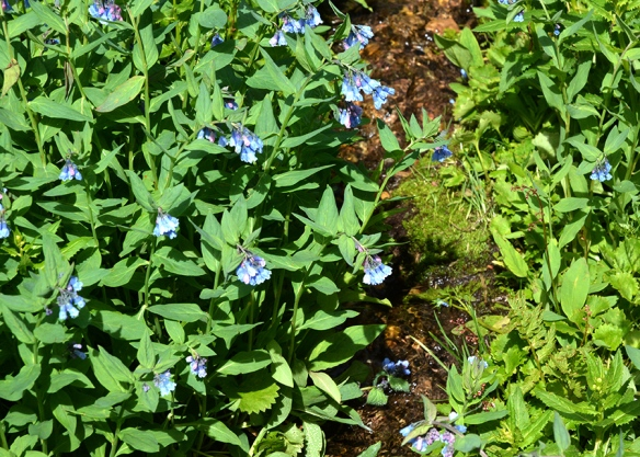 Mountain Bluebells - Mertensia ciliata - colonizes wet meadows at high elevations.