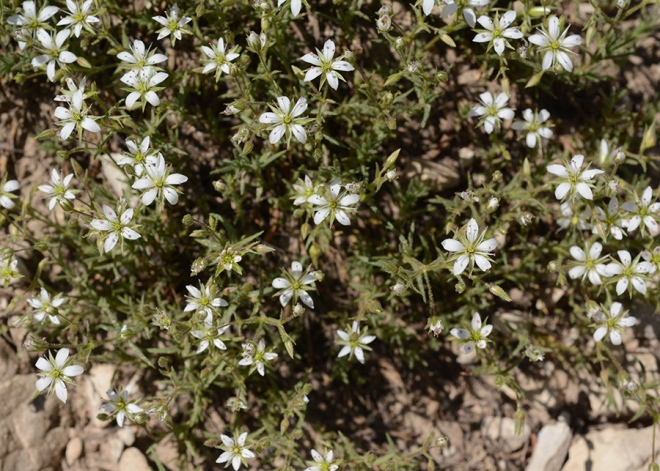 Another specialty of the limestone talus, this very delicate Nuttall Sandwort - Minuartia nuttallii - forms low mounds on dry sites.