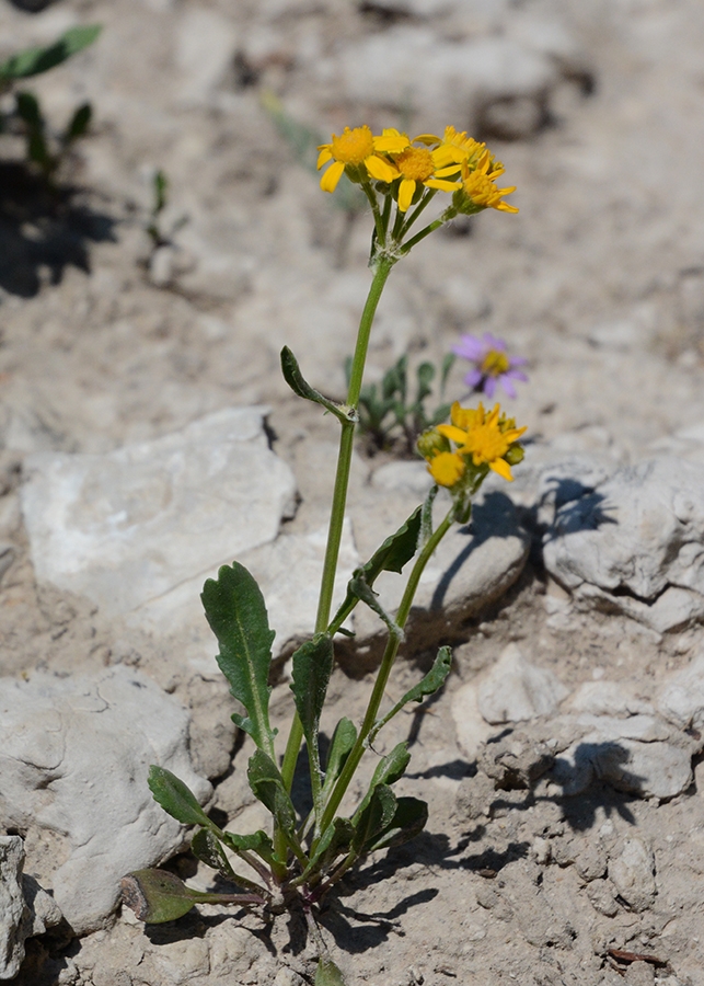 """Rocky Mountain Groundsel - Packera (Senecio) streptanthifolia - is highly variable in its size and shape of lower and upper leaves.  It is frequent orange composite in meadows and canyons at this time.  While it may be 18"""" tall in some places, here the tough growing conditions support only l6-8"""" plants."""