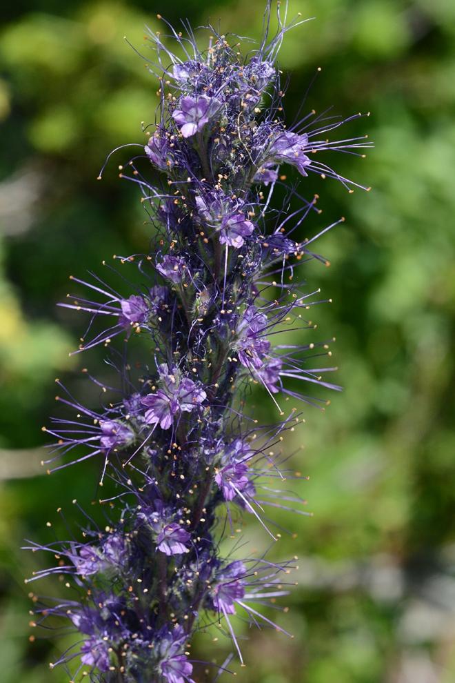 A truly elegant plant which stands up tall to 2-3 feet in crowds of flowers or alone on trail edges.  Stems are trimmed with coils of royal purple flowers, each with elongate, gold tipped anthers.  The leaves swirling around the base of the stem are neatly lobed.