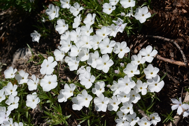Hood's Phlox is still blooming up on Teton Pass!  It was blooming the the valley in early May.  Its fragrance is remarkable.