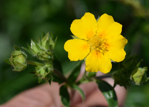 At least three cinquefoils are common on our trails right now.  All have five yellow-hued petals that form wide platforms for a variety of pollinators to land upon.  Rewards of nectar are hidden in the center.  In this species: Potentilla gracilis there is an extra daub of orange at the base--part of the signal for pollinators.
