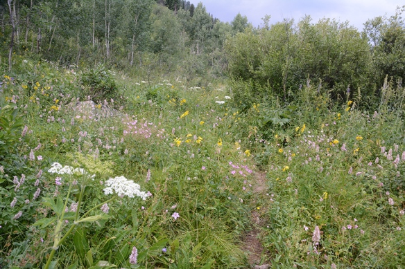 Moose Pond Trail has a small meadow with Cow Parsnip, Giant Hyssop, Sticky Geranium and more!