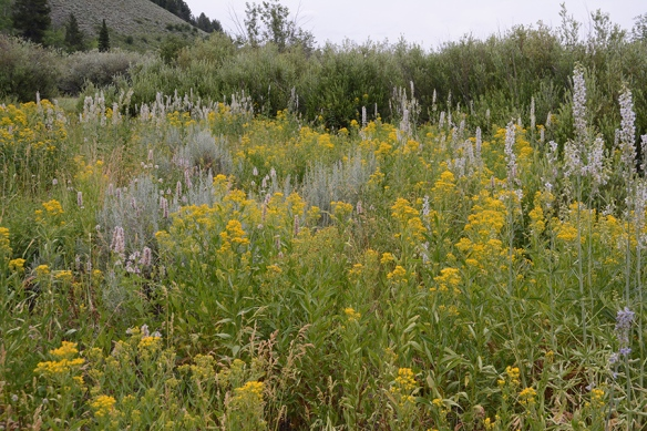 Moose-Wilson Road has an array of tall forbs (wildflowers) - Tall Larkspur, Butterweed Groundsel, and Canada Goldenrod.