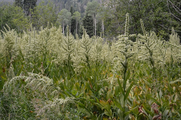 False Hellebore - Veratrum californicum/tenui - is having a