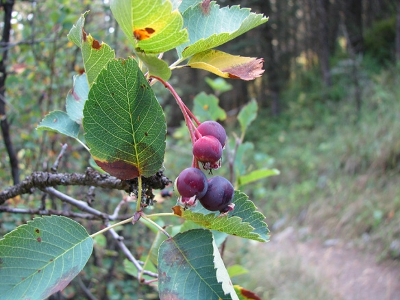 Serviceberries – Amelanchier alnifolia – still retain some blue-purple fruits, although many birds such as robins, cedar waxwings, western tanagers, have already consumed them to fuel their migration south.