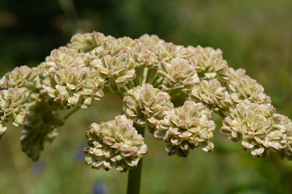 A. The umbels of fruits stand 5-6' feet high on smooth stems in moist locations.