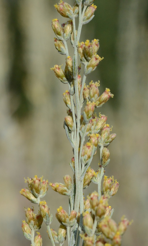 With Big Sagebrush, only a few individual flowers form the tiny flower heads, which are easily overlooked.