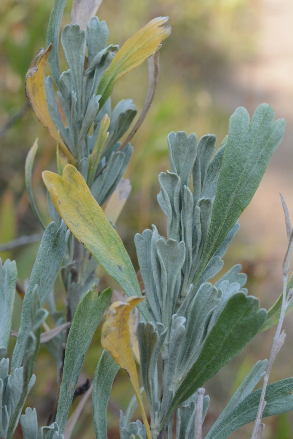 Also, observe Big Sagebrush leaves. The larger ones produced when water was plentiful in spring are dying off, but the smaller leaves of early summer will remain through the winter.