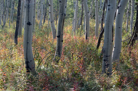 Aspen groves on Munger Mountain are full of fall treats.