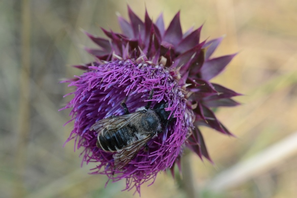 A bumblebee digs deep into the elongate violet blue flowers surrounded by the armour of stiff thick bracts.