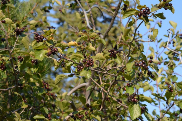 "Hawthorns – Crataegus douglasii – are filled with bunches of dark fruits protected (supposedly) by 1-2"" long thorns. No wonder people are seeing black bears along the Moose-Wilson Road where this plant is particularly abundant. Do be careful hiking around berries of any kind right now."