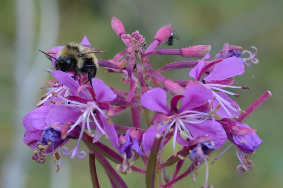 Fireweed is almost finished blooming, with bumblebees garnering the last bits of pollen and nectar.