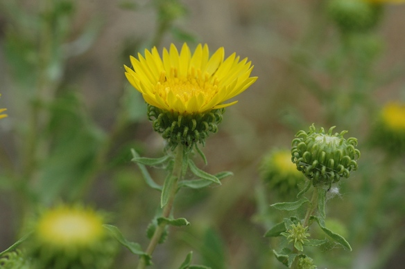 Curly Cup Gumweed—Grindellia squarrosa – is easy to recognize. Resinous bracts curl back and fuse together forming spiny cups beaming brilliant rays of sunshine. They thrive along dry, disturbed edges of the inner park road.