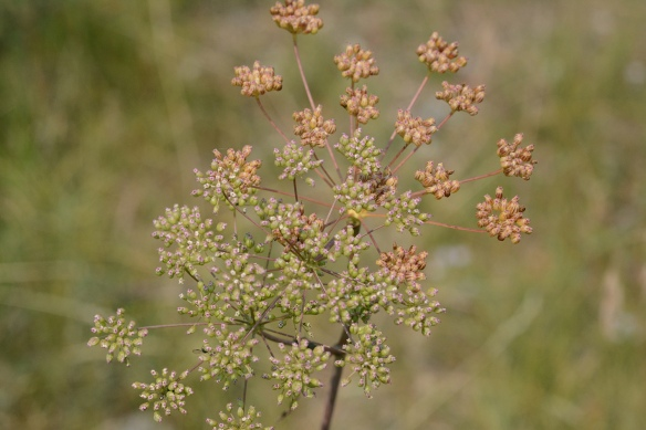 These plants bloomed late this summer predominantly in the sage flats. Fruits are short and relatively smooth. (see closeup below),