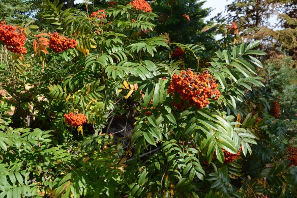 Mountain Ash – Sorbus scopulina - decorates the beginning of Ski Lake Trail and various canyons. Note the shiny compound leaves, as well as the clusters of orange fruits.