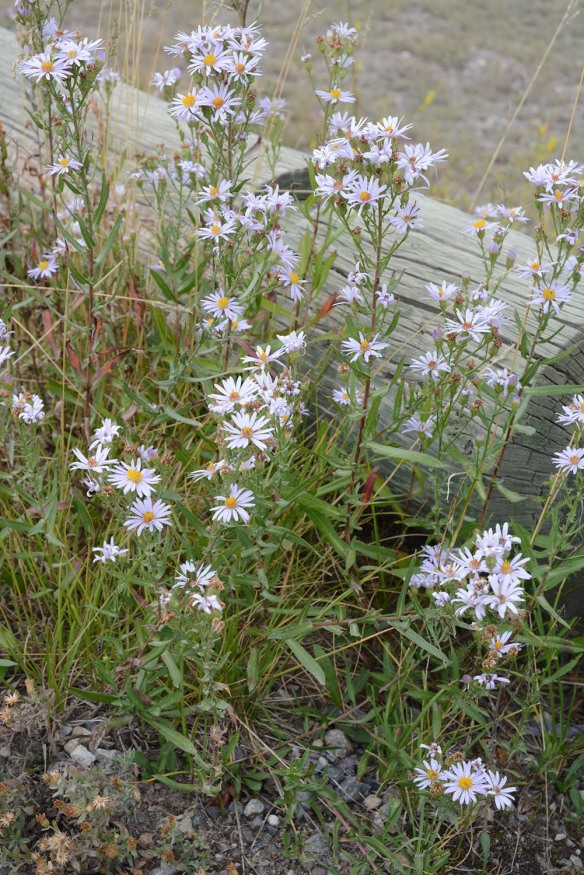 - is overall a smaller and bushier plant with the upper part of the 1-2' stems covered with pale blue flowers.