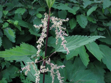 UrtiDioc_StingingNettle_FHCsm